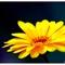 Thumb_fleur_des_champs_jaune