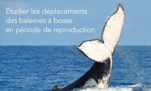 Visuel du projet Etudier les déplacements des baleines à bosse dans leurs zones de reproduction.