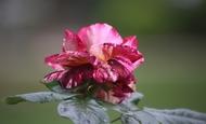 Widget_rose-1529320260