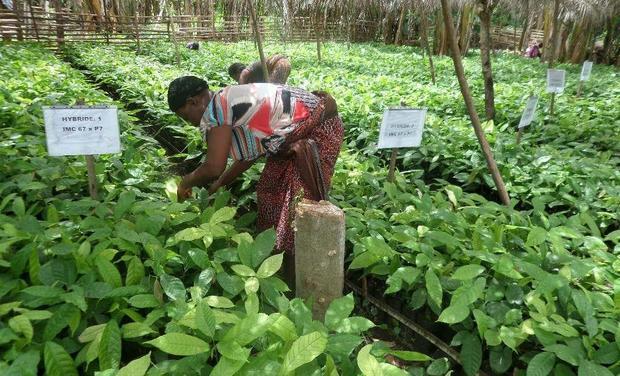Visuel du projet Des Arbres pour faire pousser du Chocolat