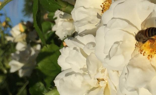 Visuel du projet Agrandir notre rucher avec 2 nouvelles colonies d'abeilles