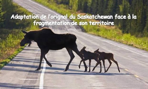 Large_image2_moose
