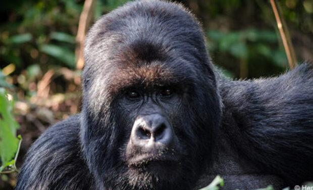 Visuel du projet Les Gorilles - application de sécurité des personnes