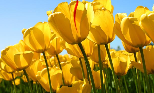 Large_tulips-1465575440-1465575453