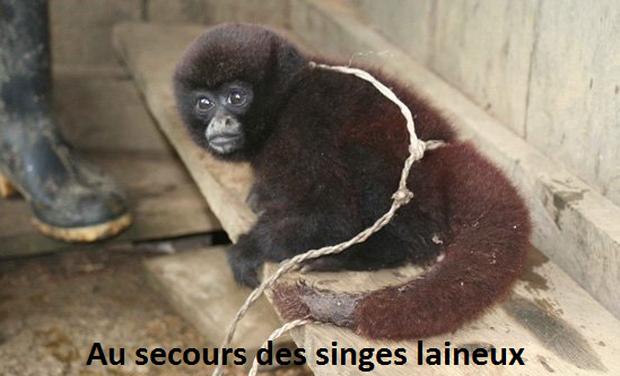 Project visual Au secours des singes laineux