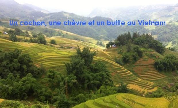 Project visual Un cochon, une chèvre et un buffle au Vietnam