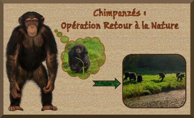 Visueel van project Chimpanzés : retour à la nature !