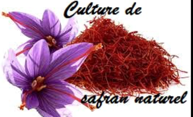 Project visual Culture de safran naturel