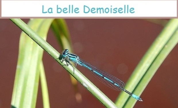 Visuel du projet La belle demoisselle