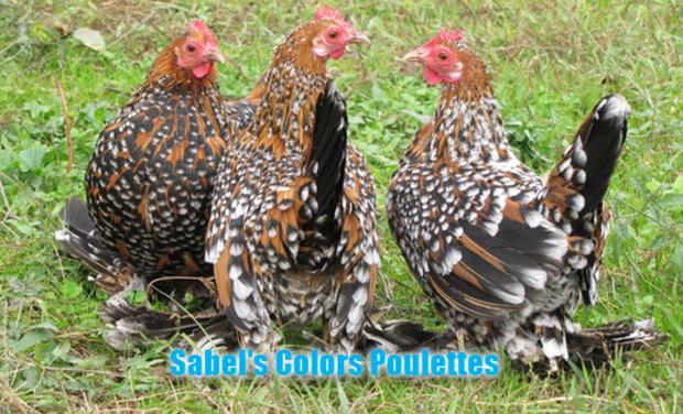 Visuel du projet Sabel's Colors Poulettes