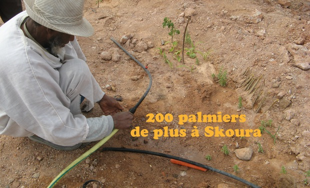 Project visual 200 palmiers de plus à Skoura