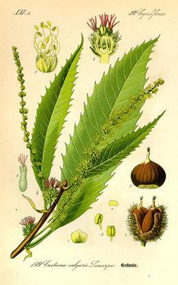 Chataignier-planche-botanique-1408362751