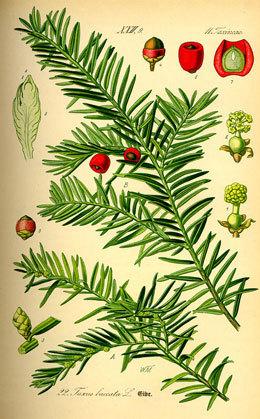 If-planche-botanique-1408362922