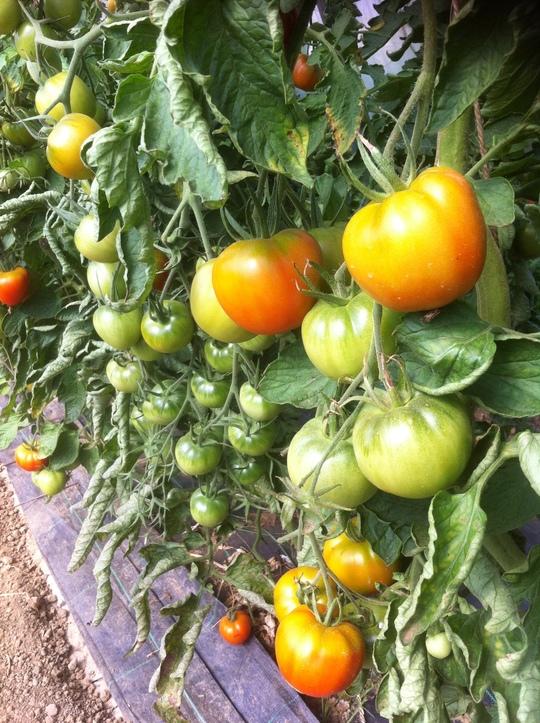 Tomates-1408448382