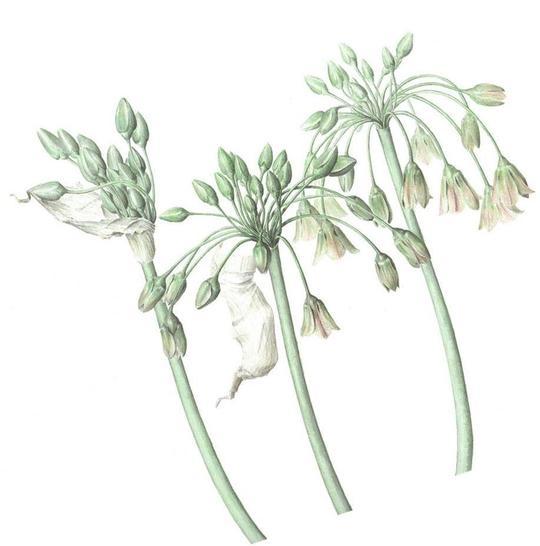 Allium4-1411656235