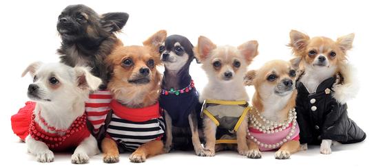 Chihuahua-clothes1-1415998090