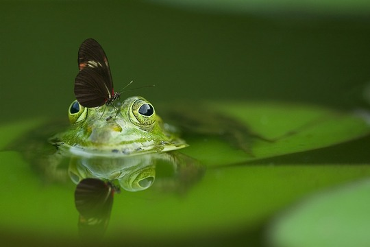 Frog-540812_1280-1418659563