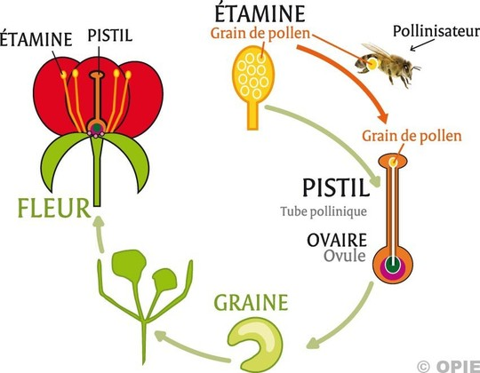 Pollinisation-1420470463