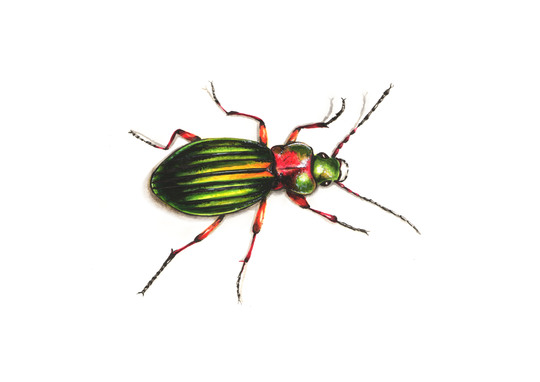 Scarab__color_2-1424371230