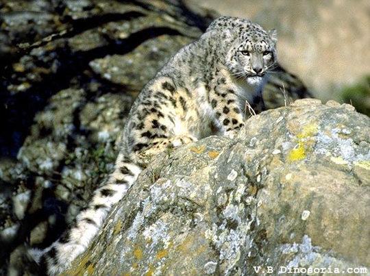 Leopard-neige-2-1425653869
