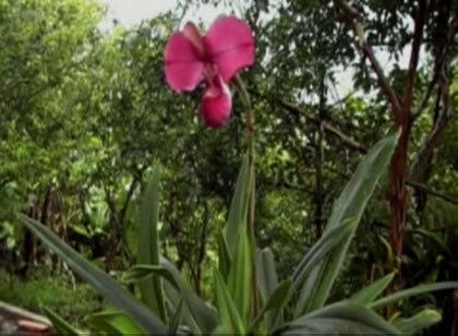 Orquidea_phragmipedium_kovachii_01-1426427646