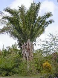 Palmier_tagua-1427205756