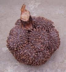 Fruits_de_tagua-1427218780