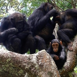 Plos-chimp-chimpanzee-1360116-l-1429050644