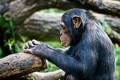 Animal-chimpanze-thinking-4267834-l-1429201193