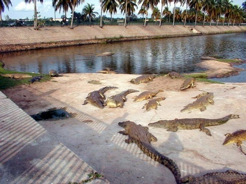Crocodiles_ymoussoukro-1429523430