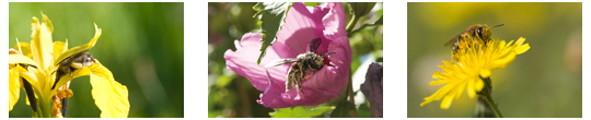 Montage_pollinisation-1430221220