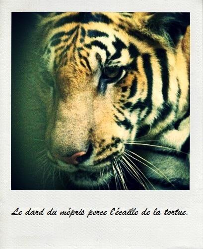 Tigre_proverbe-1433943625
