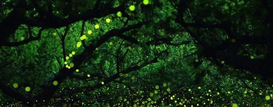 Longue-exposition-des-paysages-japonais-illumines-par-le-voyage-des-lucioles41_copie-1434575222