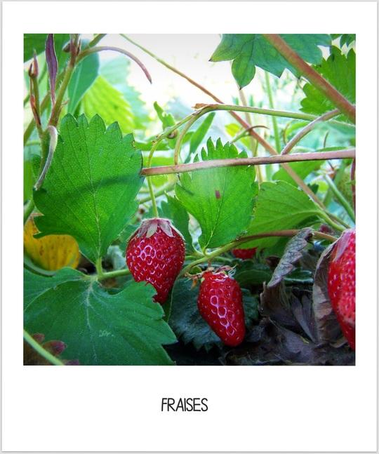 Fraises-1434834221