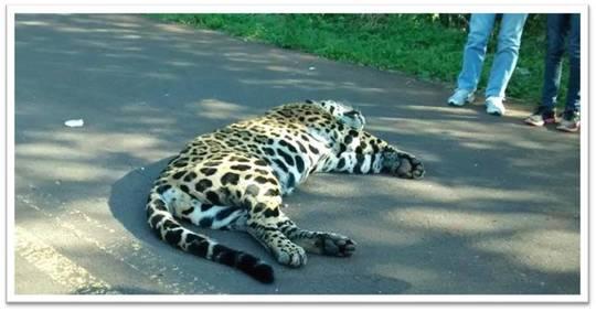 Dead-jaguar-1435876984