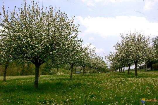 Des-pommiers-pour-le-cidre-visoflora-52477-1442404059