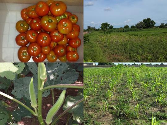 Tomate-1444616285