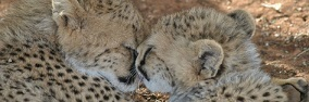 Cheetahs_naankuse_-_960x315_13-1448841927