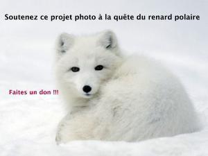 Renard_polaire_1-1449568905