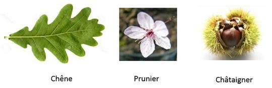 Chene-prunier-1450456289