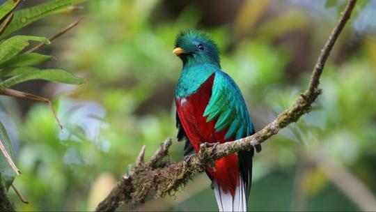 Quetzal-oiseau_full-1451181030