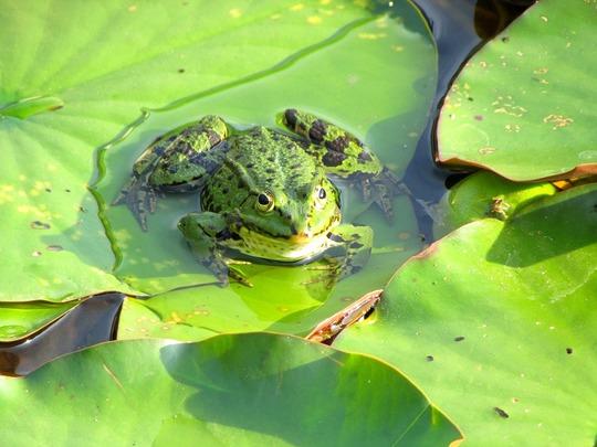 Frog-pond-841839_1280-1452238014