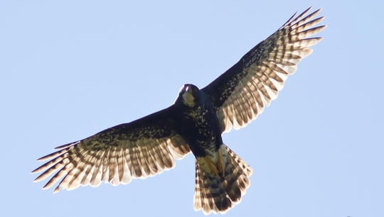 Black-sparrowhawk-in-flight-1456139682
