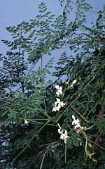 Moringa-oleifira-1457382163