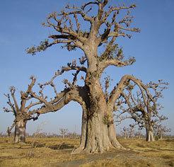 Baobab-senegal-1457382285
