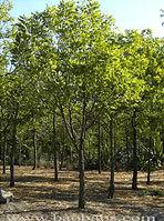 Margousier-neem-1457382318