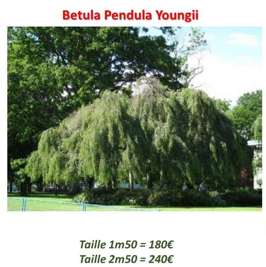 Betula_pendula-1457622192