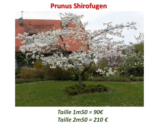 Prunus_shirofugen-1457622213