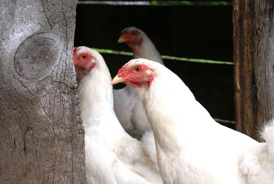 Chanteclerc_chickens_petit-1458161327