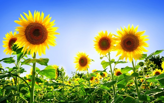 Gorgeous_sunflowers-1920x1200-1459338983
